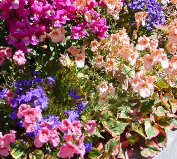 http://www.snapgardeners.com/images/pictures/color/diascia_lobelia_snaps.jpg